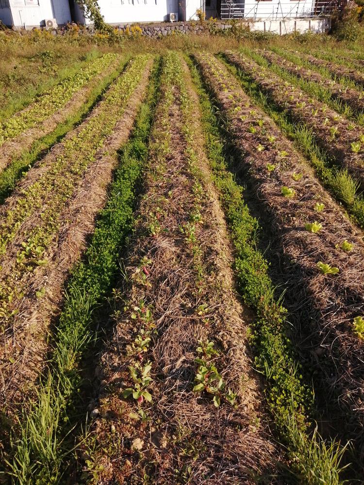 雑草が生えた二十日大根の畑