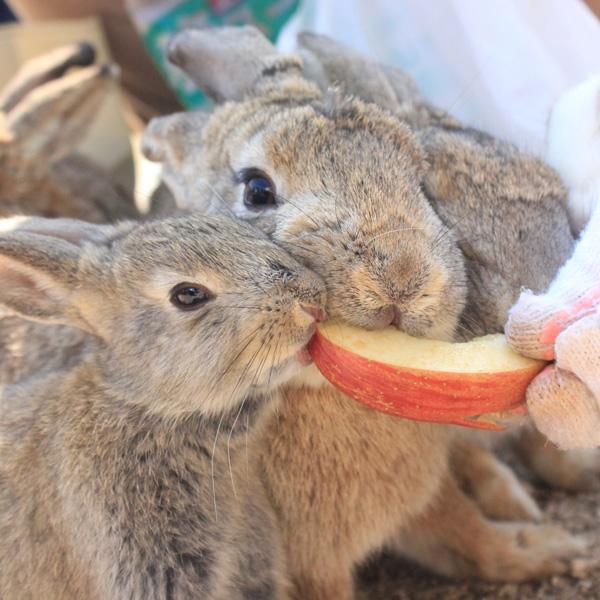 ウサギとりんご