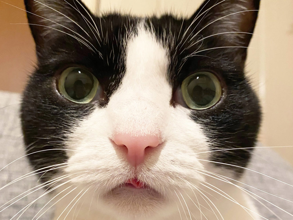 ベロしまい忘れのあざとかわいい猫
