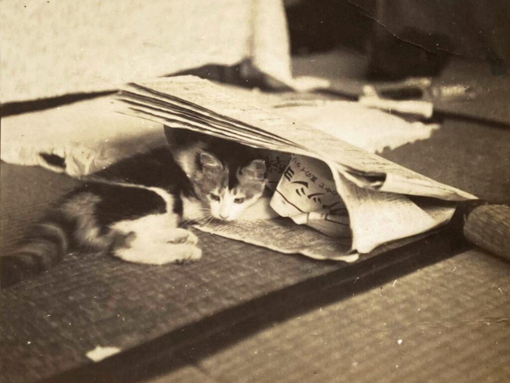 新聞で遊ぶ三毛猫
