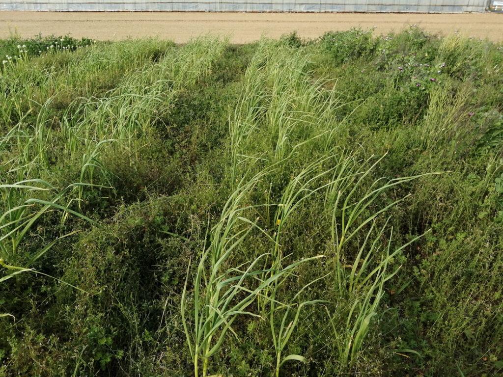 緑いっぱい自然農の畑
