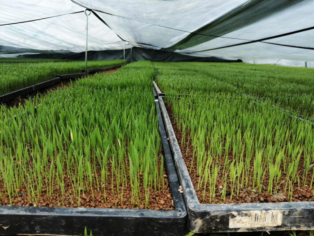 育苗中の稲の苗
