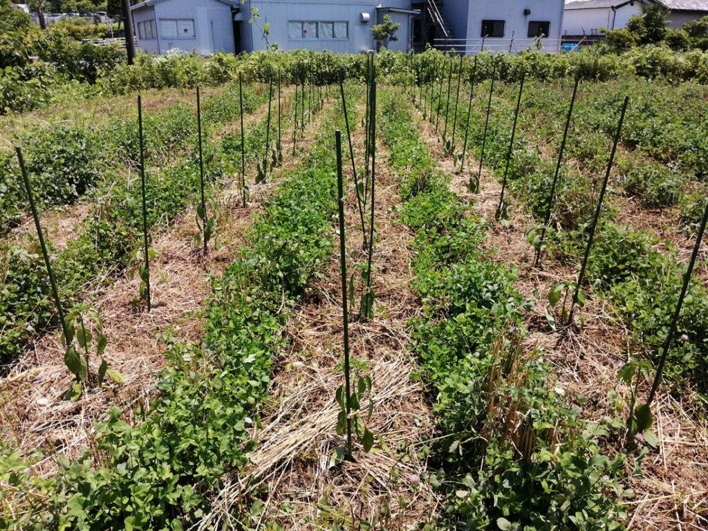 ピーマンとシシトウの畑