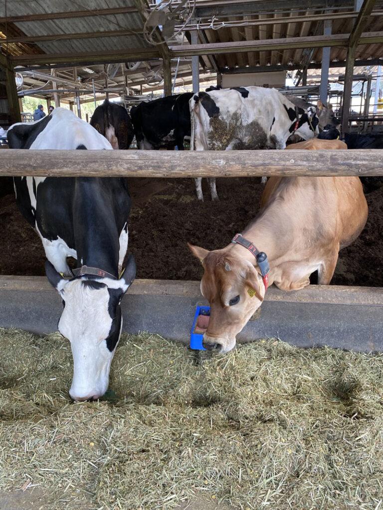 安富牧場の牛さんたち
