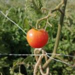 自然農ーミニトマト