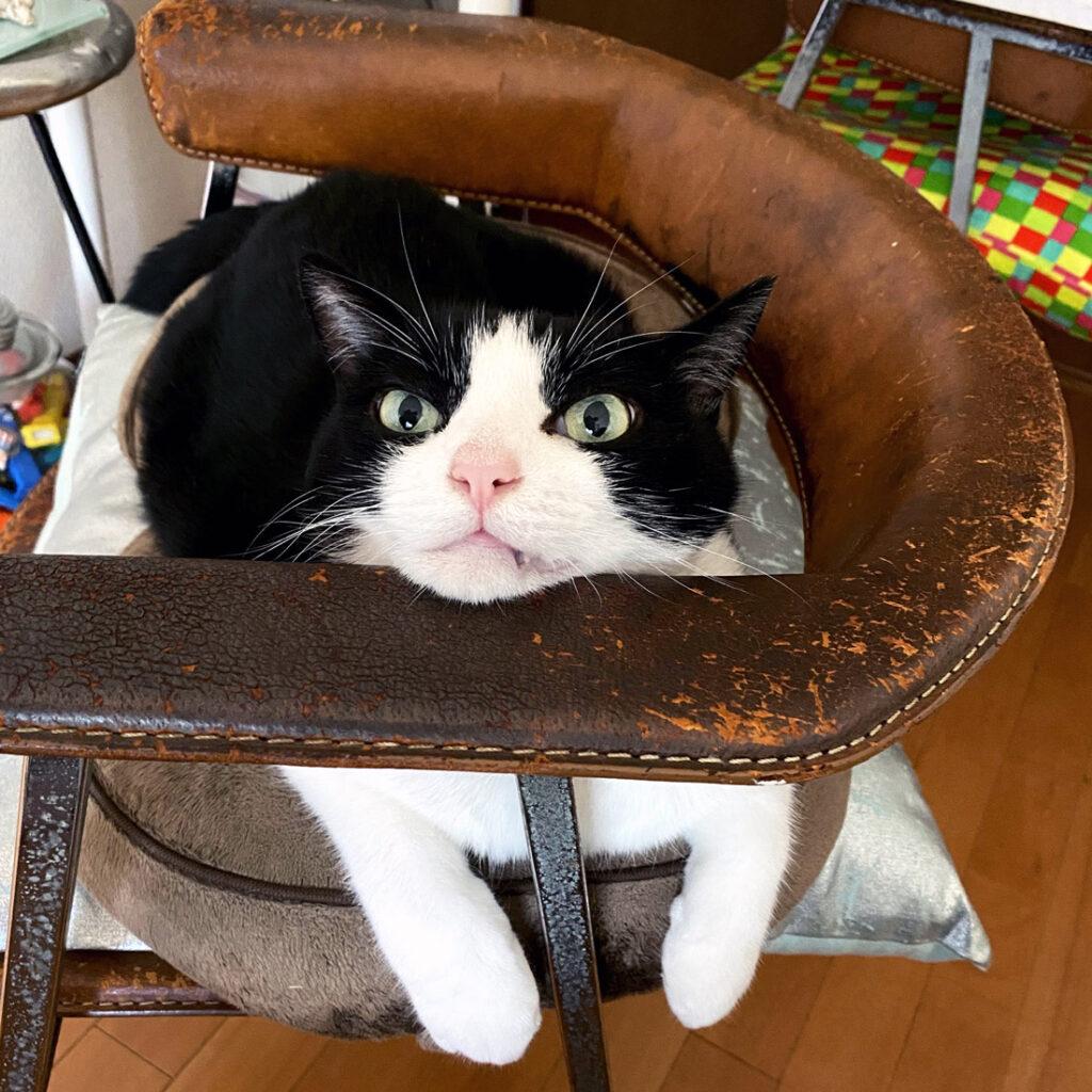椅子でドヤ顔の猫