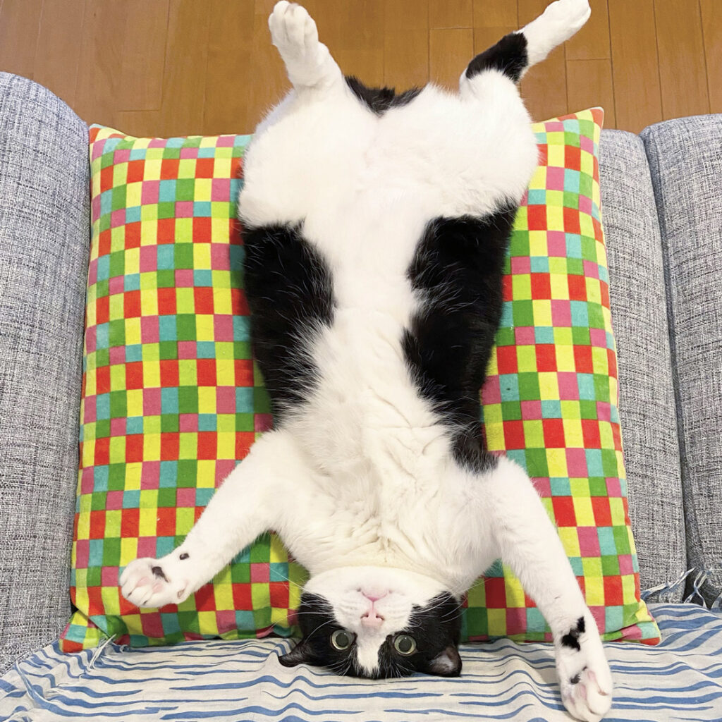 お腹出して大の字のハチワレ猫